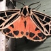 Parthenice Tiger Moth - Photo (c) Renee Klein, all rights reserved
