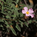 Hairy Rock-Rose - Photo (c) Jay Keller, all rights reserved, uploaded by Jay L. Keller