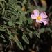 Cistus creticus eriocephalus - Photo (c) Jay Keller, todos los derechos reservados, uploaded by Jay L. Keller
