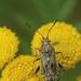 Stictopleurus punctatonervosus - Photo (c) Henk Wallays, all rights reserved