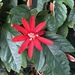 Grapeleaf Passionflower - Photo (c) meganlynn, all rights reserved