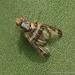 Pseudodyscrasis scutellaris - Photo (c) Juan Carlos Garcia Morales, todos los derechos reservados