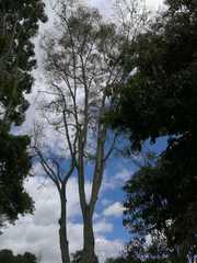 Image of Fraxinus americana