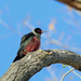 Lewis's Woodpecker - Photo (c) Nigel Voaden, all rights reserved