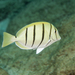 Convict Surgeonfish - Photo (c) David R, all rights reserved