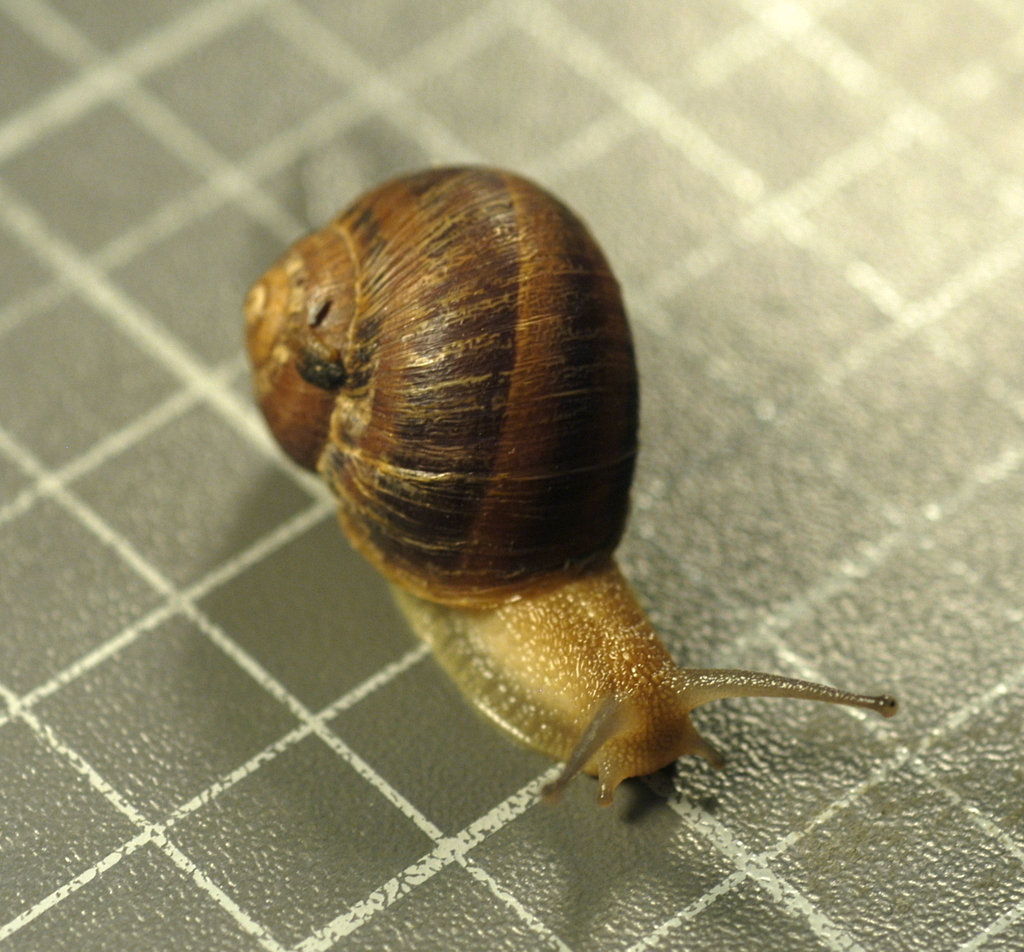 Garden Snail (Snails and Slugs from Los Angeles County (SLIME ...