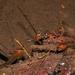 Anablepsoides - Photo (c) pedroivosimoes, todos los derechos reservados, uploaded by pedroivosimoes