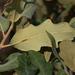 Quercus havardii - Photo (c) Jay L. Keller, todos os direitos reservados