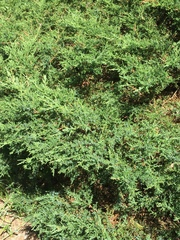 Image of Juniperus x pfitzeriana