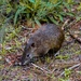 Southern Brown Bandicoot - Photo (c) iwbrooks, all rights reserved