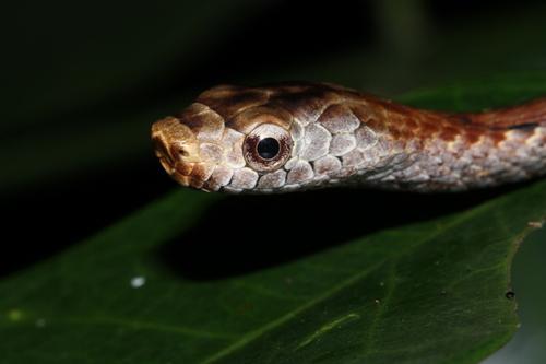 Micropisthodon ochraceus | snakedatabase.org