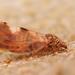 Cacopsylla fulguralis - Photo (c) Henk Wallays, todos los derechos reservados