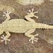 Moorish Gecko - Photo (c) Henk Wallays, all rights reserved