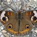 Common Buckeye - Photo (c) khemeon, all rights reserved