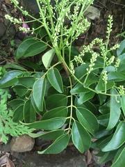 Acosmium panamense image