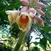 Alpinia haenkei - Photo (c) Cheanna Petong, all rights reserved