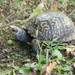 Common Box Turtle - Photo (c) Tony Gerard, all rights reserved