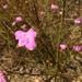 Pineland False Foxglove - Photo (c) heathersharkey, all rights reserved