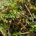 Creeping Raspwort - Photo (c) 林建融, all rights reserved