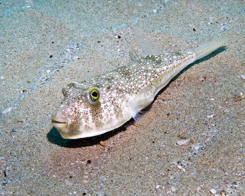 common toadfish