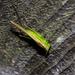 Conocephalus fasciatus fasciatus - Photo (c) Timothy Reichard, כל הזכויות שמורות