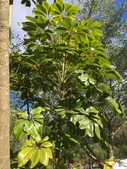 Schefflera actinophylla image