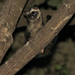 Javan Palm Civet - Photo (c) cenote, all rights reserved