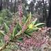 Tassel Flower - Photo (c) annbentley, all rights reserved