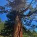 Pinus monticola - Photo (c) Trent Pearce, todos los derechos reservados