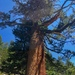 Pinus monticola - Photo (c) Trent Pearce, todos os direitos reservados
