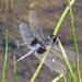Celithemis martha - Photo (c) khemeon, todos los derechos reservados