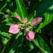 Pinckneya bracteata - Photo (c) j_albright, all rights reserved
