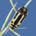 Escarabajo Metálico de Escalera - Photo (c) Alice Abela, todos los derechos reservados