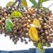 Bischofia javanica - Photo (c) George Su, כל הזכויות שמורות