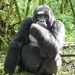 Mountain Gorilla - Photo (c) scott_phares, all rights reserved