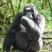 Eastern Gorilla - Photo (c) scott_phares, all rights reserved