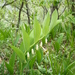 Polygonatum odoratum - Photo (c) paolapalazzolo, כל הזכויות שמורות