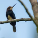 Brown Jacamar - Photo (c) Joao Quental, all rights reserved