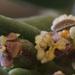 Euphorbia lata - Photo (c) Nathan Taylor, kaikki oikeudet pidätetään