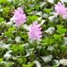 Common Water Hyacinth - Photo (c) Marcos Silveira, all rights reserved