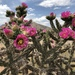 Walkingstick Cactus - Photo (c) omcelroy, all rights reserved