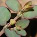 Euphorbia micromera - Photo (c) Nathan Taylor, todos los derechos reservados