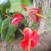 Anturio - Photo (c) mavalentina, todos los derechos reservados