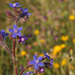 Italian Bugloss - Photo (c) mjcorreia, all rights reserved