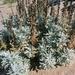 Artemisia stelleriana - Photo (c) Sam Fraser, todos los derechos reservados