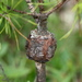 Pine-pine Gall Rust - Photo (c) Jay L. Keller, all rights reserved