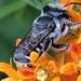 Megachile texana - Photo (c) Janet Wooten, todos los derechos reservados