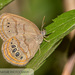 Neonympha mitchellii - Photo (c) John and Kendra Abbott, όλα τα δικαιώματα διατηρούνται, uploaded by John Abbott