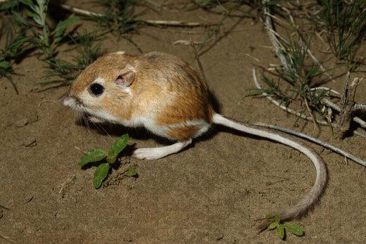 Desert Kangaroo Rat Utah Mammals Inaturalist