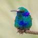 Colibrí Orejas Violetas - Photo (c) Omar Ismael Laredo Daza, todos los derechos reservados